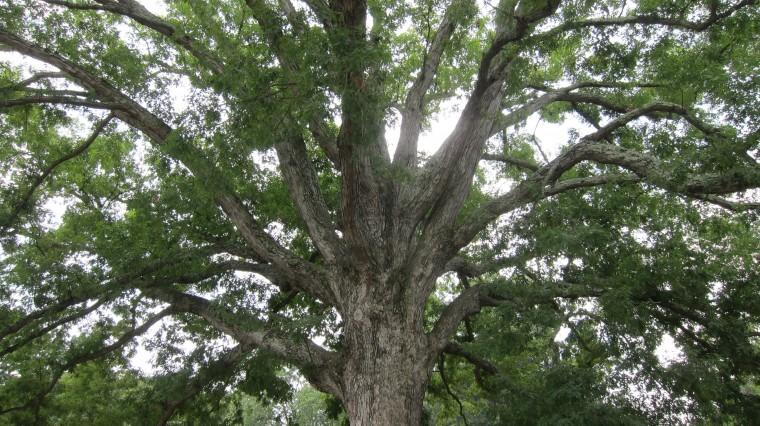 Oak, White 3 — Landmark Tree!