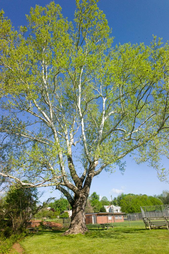 Sycamore 4 –Quarry Park    Landmark Tree!