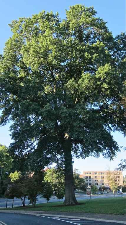 Oak, Pin–Landmark Tree!