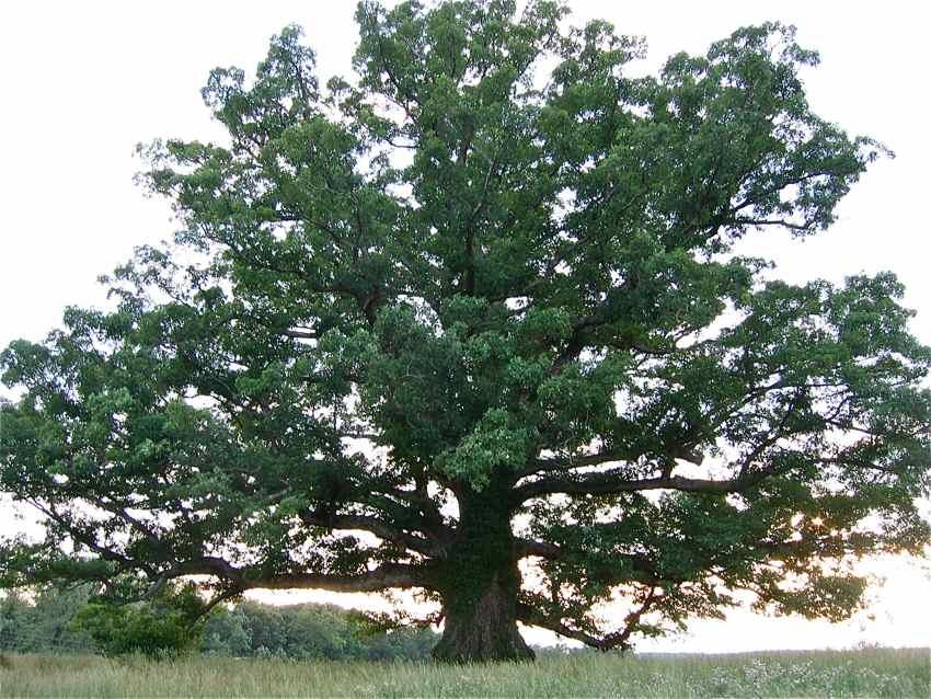 Oak, White 1   — Landmark Tree!