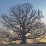 Oak, White 1   -- Landmark Tree!